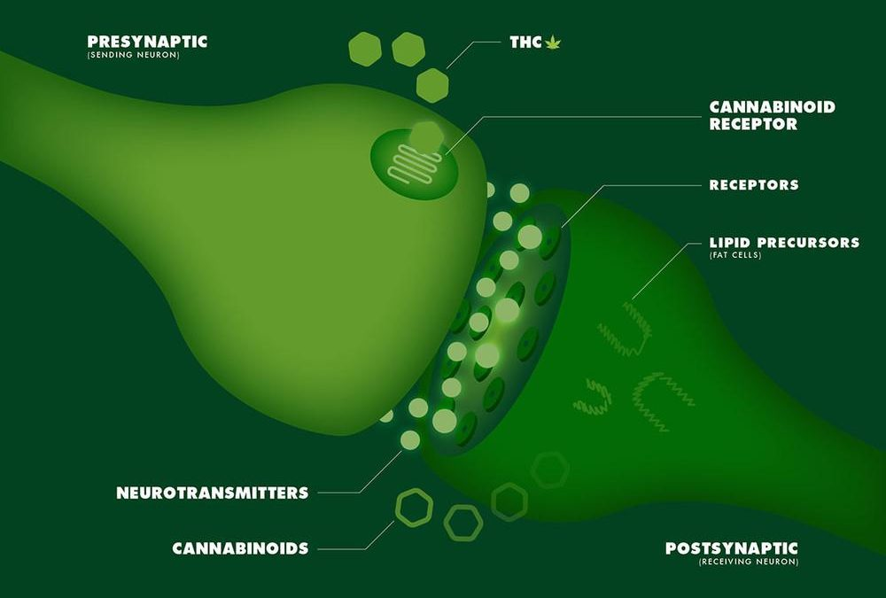 HOW AND WHY YOUR BRAIN MAKES ITS OWNCANNABINOIDS