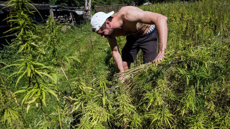 UN declaration backs cannabis for rural development